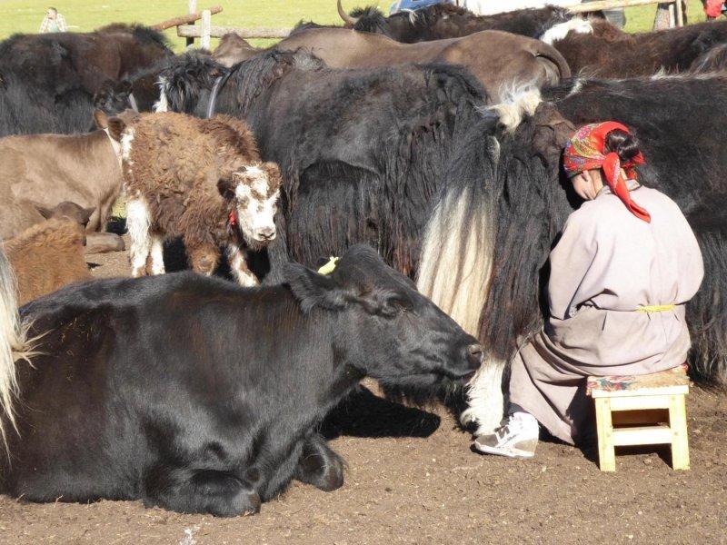 Das Melken von Tieren wird in der Mongolei seit mehr als 3000 Jahren praktiziert.