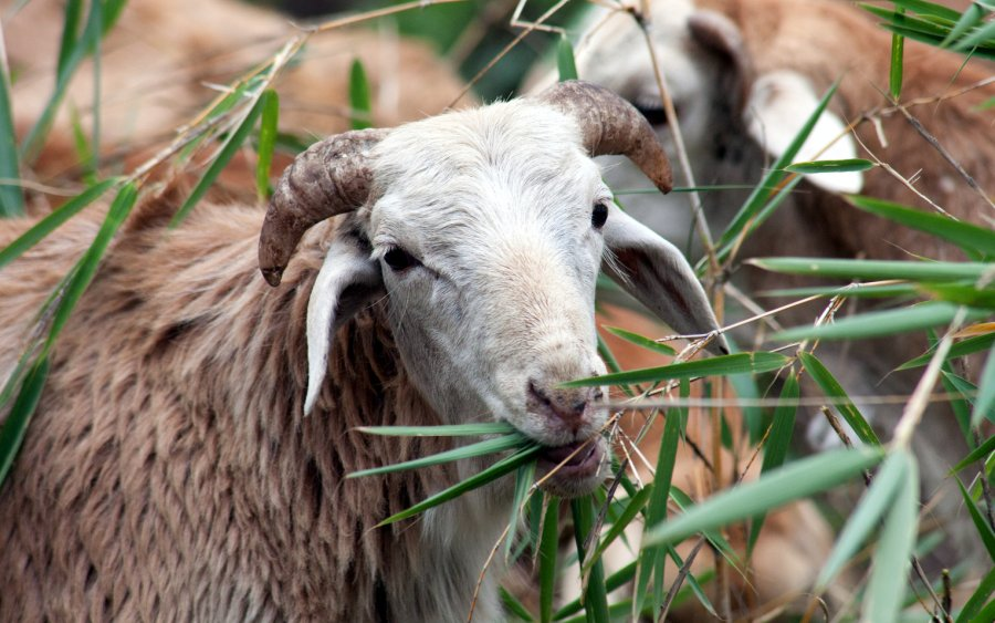 Better diets for livestock could reduce greenhouse gas emissions.