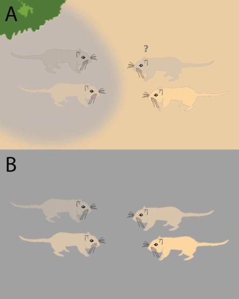Die dunkelgraue Rennmaus (Bild A, rechts oben) findet ihren dunklen Artgenossen, obwohl das Fell der hellbraunen Maus im Schatten (links unten) eine ähnlichere Lichtzusammensetzung aufweist (Bild B).
