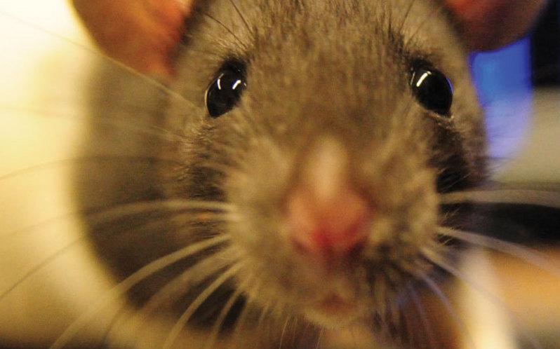 Ratten verarbeiten die Seheindrücke aus den Augen ähnlich wie andere Säugetiere. Trotzdem bewegen sich ihre Augen völlig unterschiedlich. Anders als beim Menschen können sie sich in entgegengesetzte Richtung zueinander ausrichten