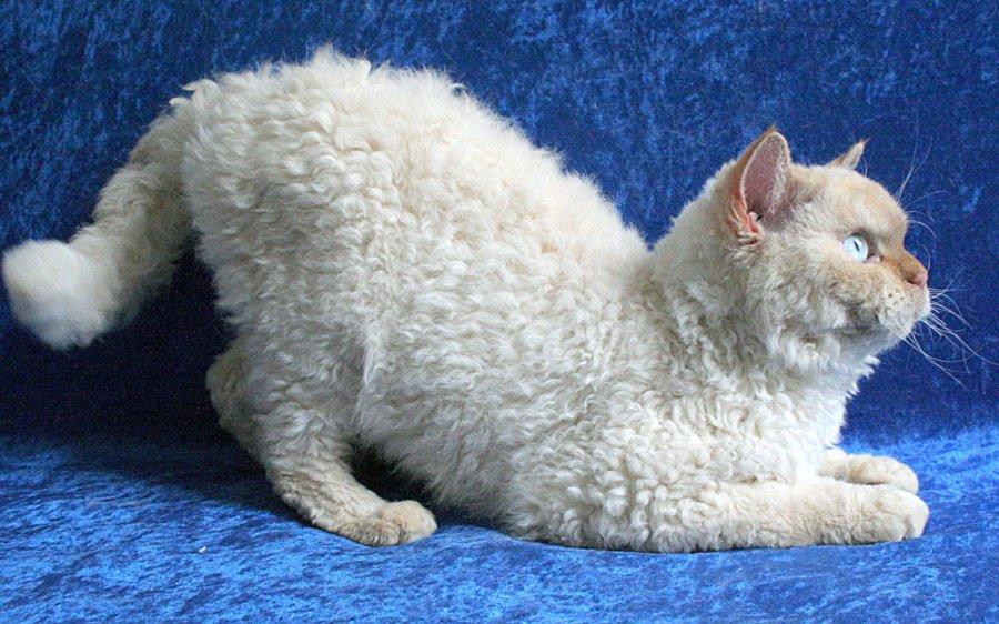 Selkirk-Rex-Katze