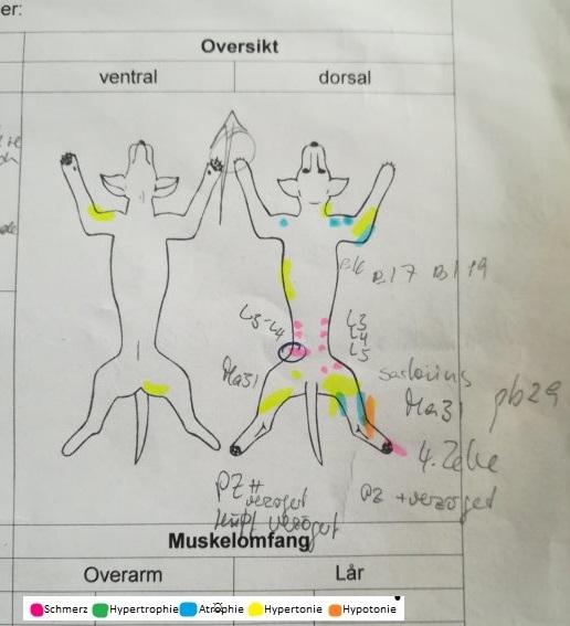 Abb 1: Beispiel eines Prototyps vom 'Bodymapping nach ESTEVE©' bei der Tierart 'Hund': Erstuntersuchung: Dobermann, 11 Jahre, m, 45 kg, BCS 6/9, MCS reduziert, Familienhund; Hauptdiagnose: Instabilität untere HWS mit intermittierender Ataxie; Ko