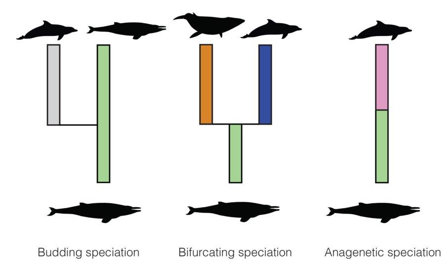 Ausgehend von einer Art können auf drei Weisen neue entstehen. In ihrer Studie untersuchten die ETH-Forschenden, ob aus bestimmten Arten überwiegend auf eine Weise neue Arten hervorgehen.