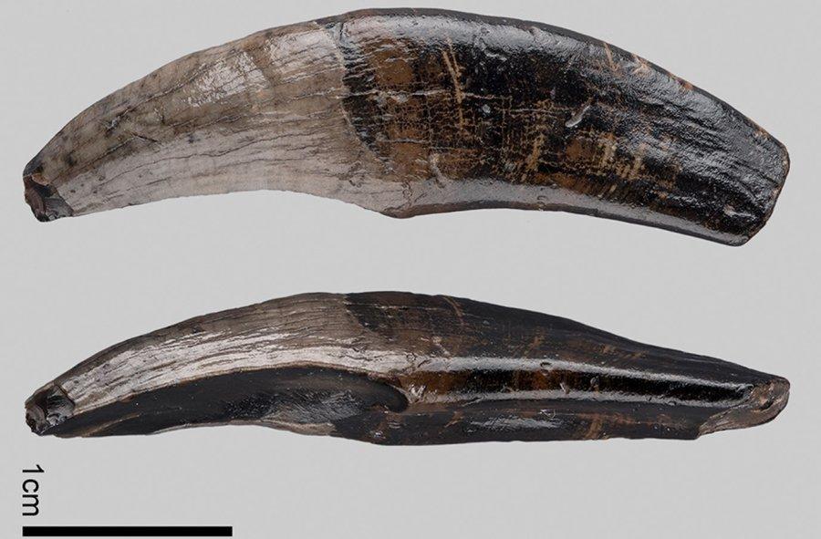 Linker oberer Eckzahn der fossilen Makakenart vom Nordseegrund.