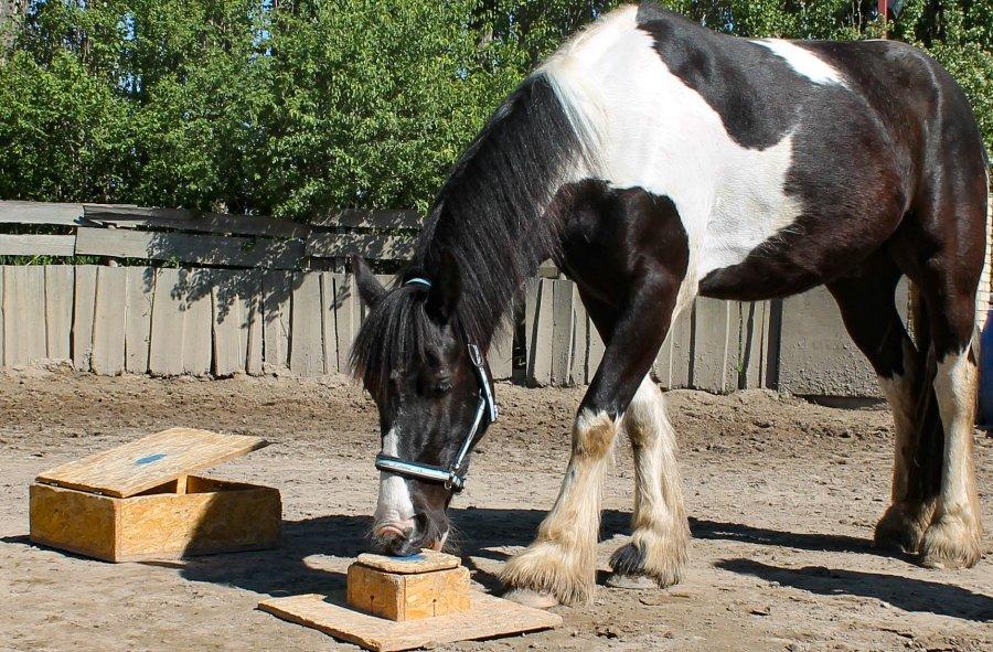 Wie eine Futterbox geöffnet werden kann, schauen sich Pferde vom Menschen ab.
