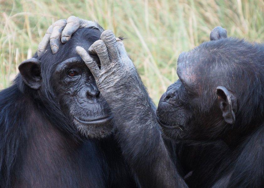 Erste Ergebnisse der Studie zum Kurzzeitgedächtnis von Primaten zeigen, dass eng verwandte Arten, zum Beispiel Schimpansen (Foto) und Bonobos, ähnliche Ergebnisse erzielen.