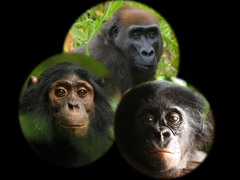 Schimpansen (links), Gorillas (Mitte) und Bonobos (rechts) bemerken neue Objekte in ihren natürlichen Lebensräumen, reagieren jedoch unterschiedlich darauf.