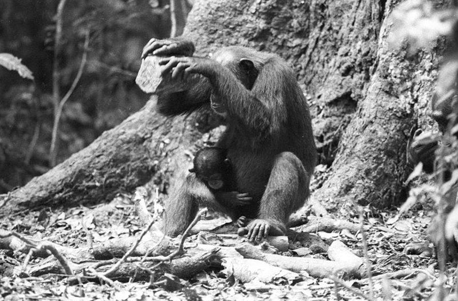 Weiblicher Taï-Schimpanse beim Knacken von Panda-Nüssen mit Hilfe eines Steinhammers. Als Amboss dient eine Wurzel.