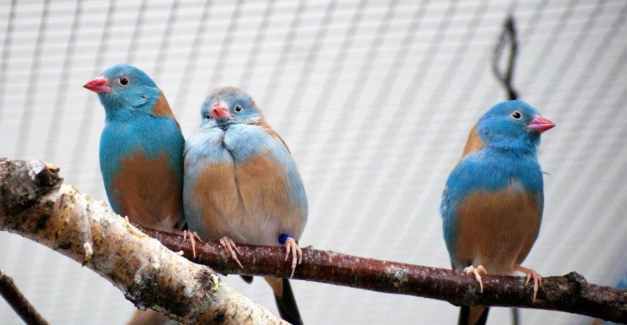 Blaukopf-Schmetterlingsfinken: Ein Paar (links) und ein einzelnes Männchen (rechts)