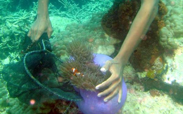 Indonesischer Fischer beim Fang eines Anemonenfisches