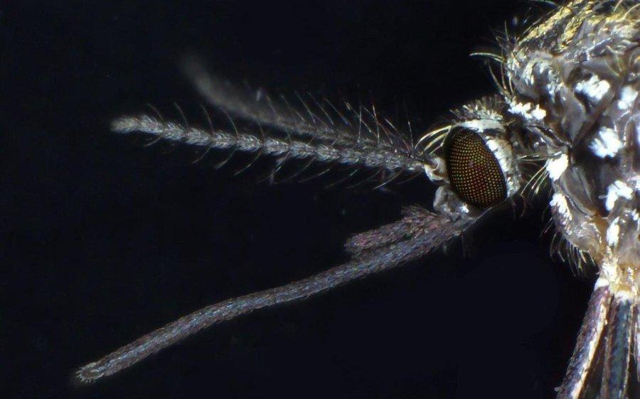 Kopf einer weiblichen Asiatischen Buschmücke