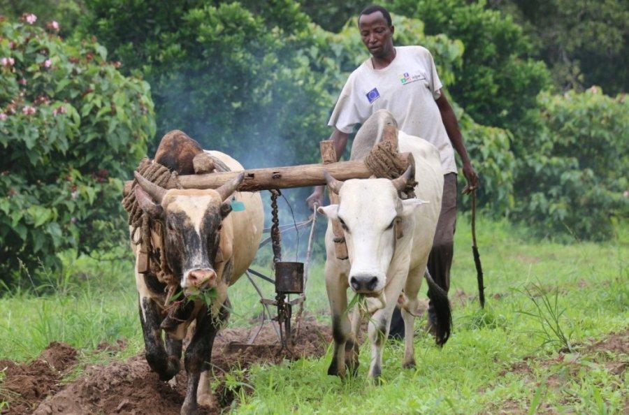 Mit der traditionellen Methode soll Rauch die Tsetse-Fliegen von den Rindern fernhalten.