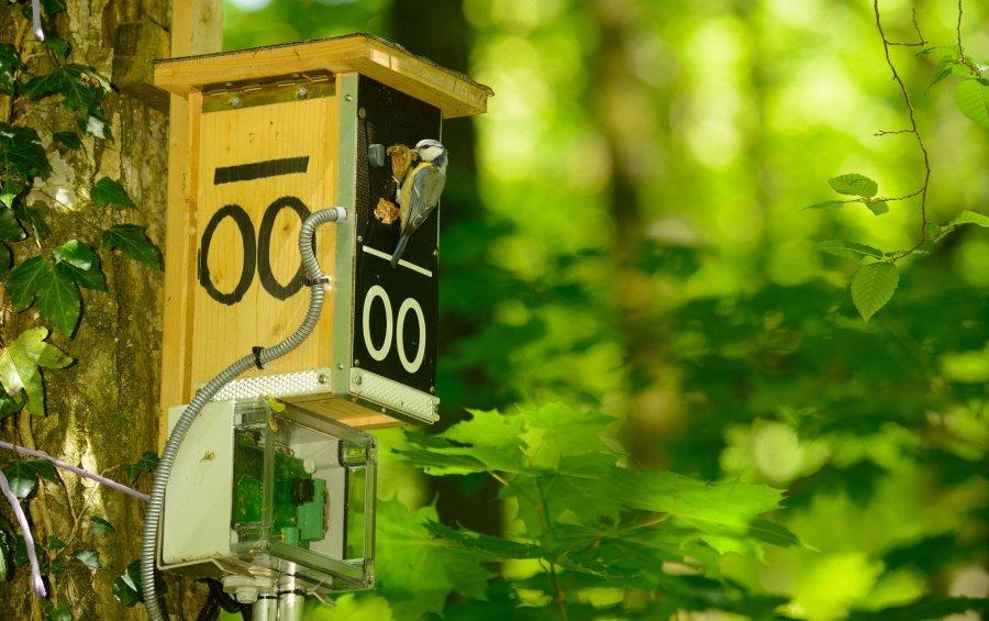 Blaumeise auf dem Weg zur Brut in einer 'Smart nest-box'