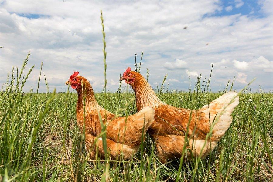 Hühner auf der Freifläche