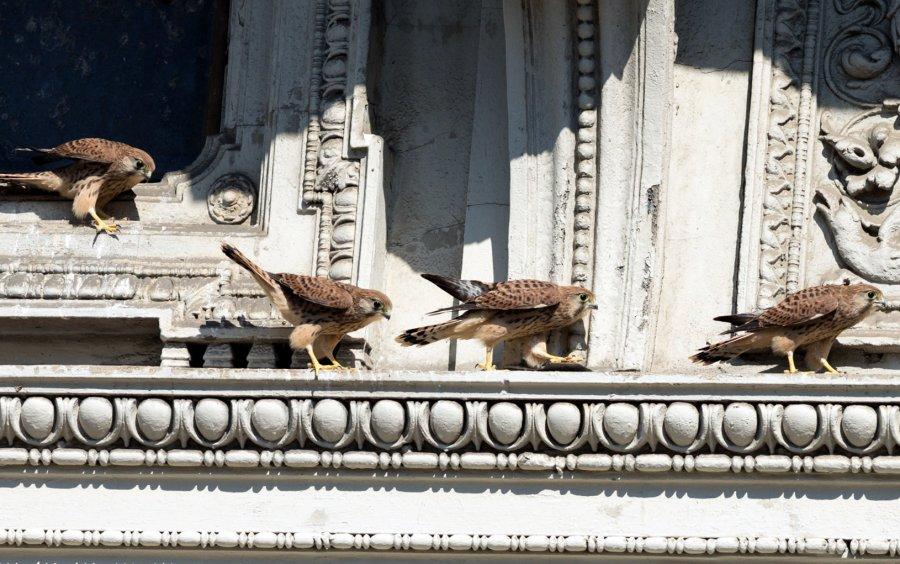 Der Turmfalke, Wiens häufigster Greifvogel, ist an seinen städtischen Lebensraum perfekt angepasst