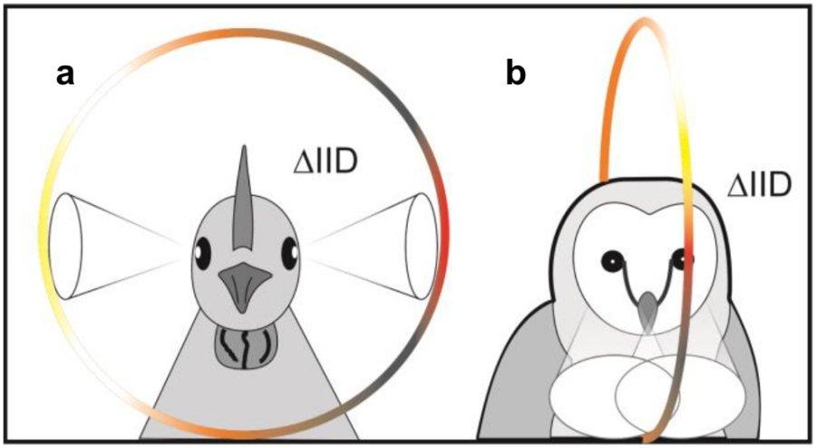 Vögel mit seitlich stehenden Augen, z.B. Amseln, können die Höhenposition von Schallquellen abhängig von der Lautstärke unterscheiden. Dagegen sind Schleiereulen auf frontale Geräusche spezialisiert