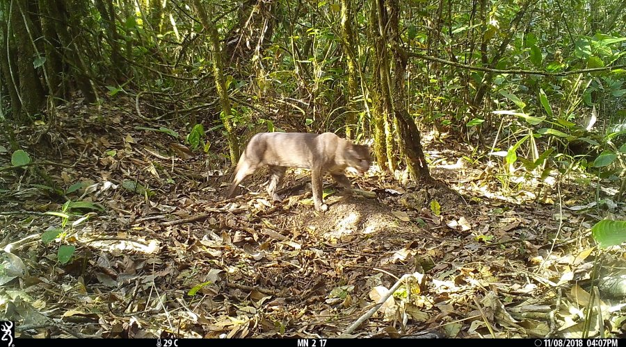 The rare African Golden Cat photographed for the first time in Tanzania