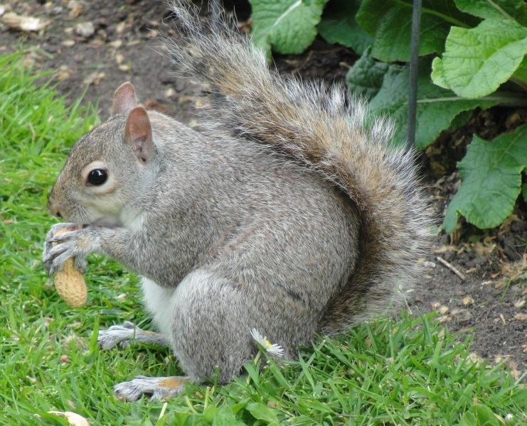 Das Grauhörnchen ist in der Poebene in Nord-Italien eingeschleppt und verdrängt dort das Eichhörnchen. Bekämpfungsmaßnahmen des Grauhörnchens wurden durch öffentliche Proteste verhindert.