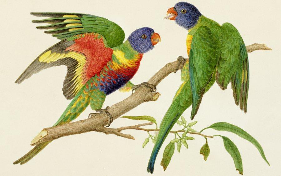 Rainbow lorikeet (Trichoglossus haematodus moluccanus), watercolour, Ferdindand Bauer, based on pencil sketch made at Port Philipp (Melbourne), April 1802. Natural History Museum, London
