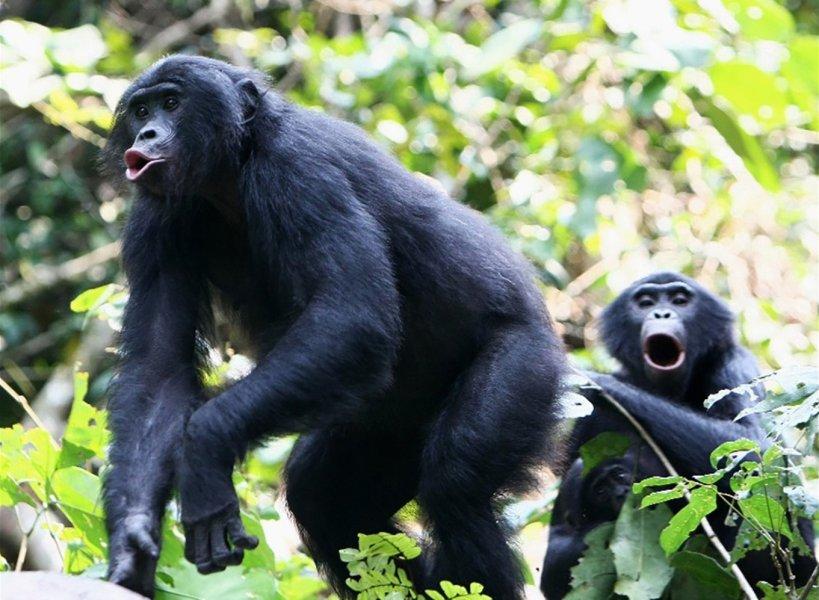 Das Lautrepertoire der Bonobos ist eine ganze Oktave höher angesiedelt als bei Schimpansen.