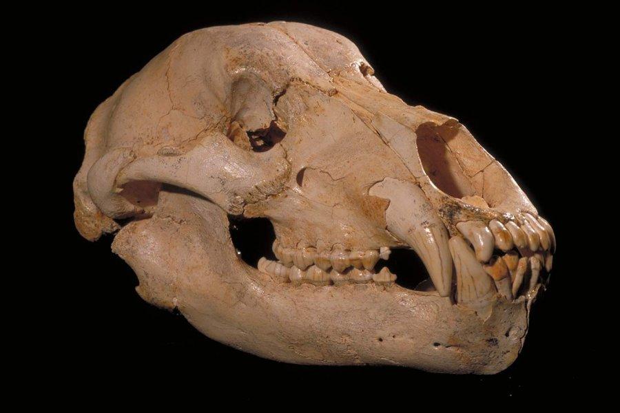 Vollständiger Schädel und Unterkiefer eines Deninger Bären aus Sima de los Huesos in Spanien.