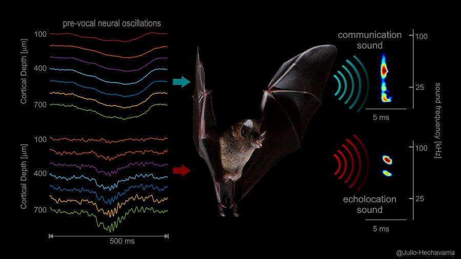 Verschiedene Nervensignale im Stirnlappen der Brillenblattnasen-Fledermaus Carollia perspicillata (links) gehen Kommunikationslauten (oben) und Lauten zur Echo-Ortung (unten) voran.