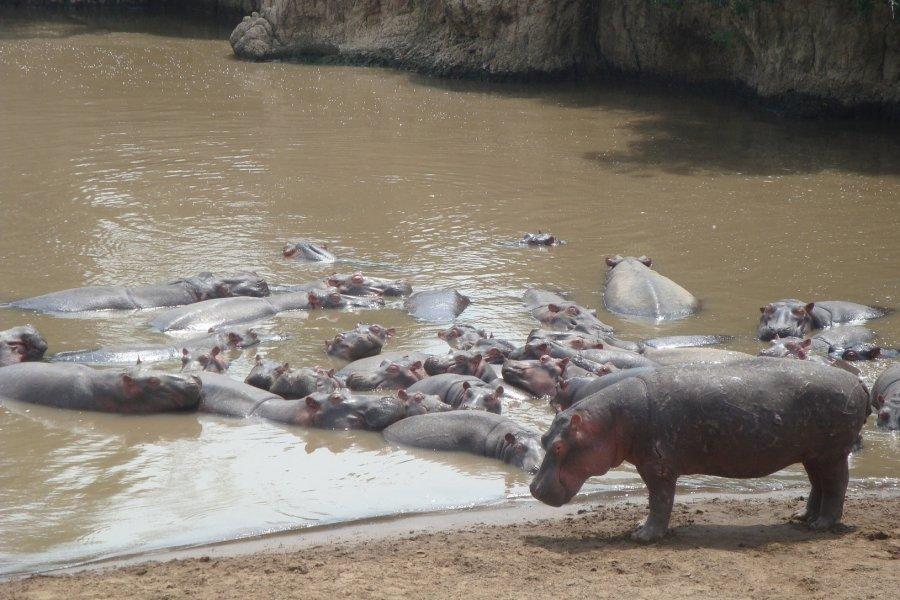 Nilpferde, die den Tag gemeinsam in einem ruhigen Abschnitt des Mara River in Kenia verbringen.