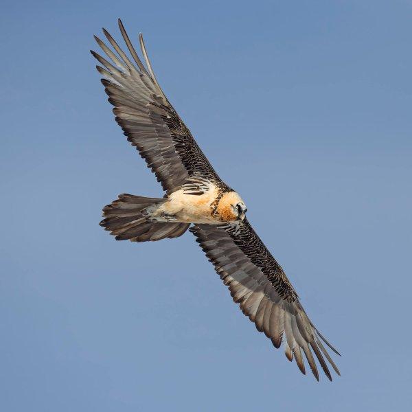 Der Bartgeier ist einer der frühesten Brutvögel: Bereits im Januar oder sogar im Dezember sitzt er auf dem Nest und brütet