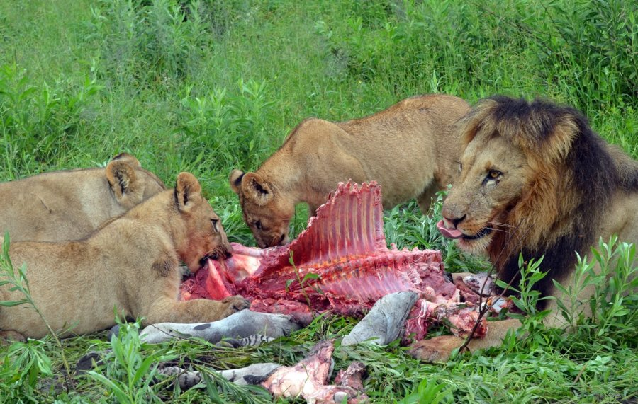 Löwenmännchen unterstützen die Weibchen kaum bei der Jungenaufzucht, verteidigen aber das Revier der Weibchen mit ihren Jungtieren.