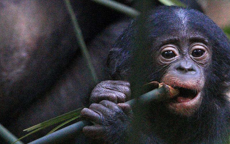 Bonobo-Baby mit seiner Mutter: Höhere Konzentrationen von Schilddrüsenhormonen im Erwachsenenalter beeinflussen Sozialverhalten und geistige Fähigkeiten dieser Schimpansen-Art