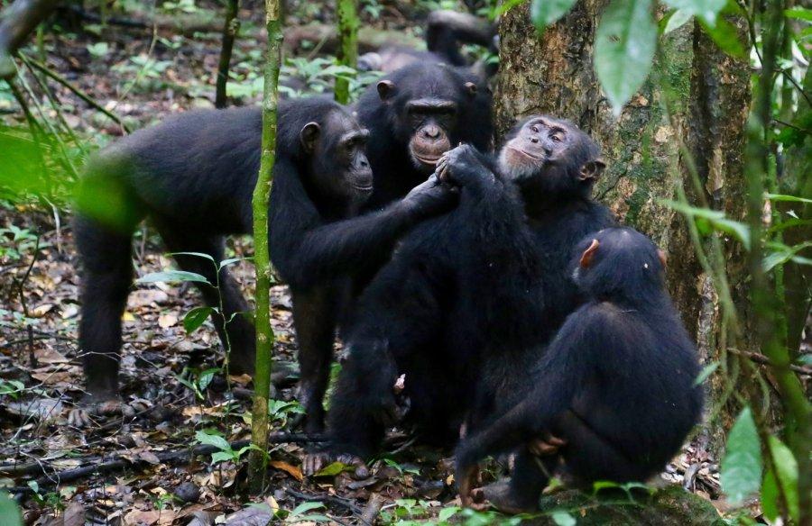 Schimpansen teilen Nahrung mit ihren Freunden.