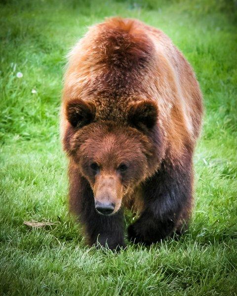 Bei Grizzlybären überstehen die Muskeln den Winterschlaf beinahe unbeschadet. Forscher*innen suchen nun nach den Mechanismen, um so auch bettlägerigen Menschen zu helfen.