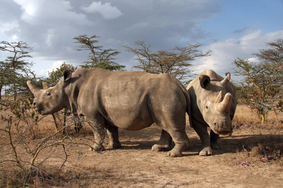 Najin und Fatu, die letzten Individuen ihrer Art, im Ol Pejeta Conservancy in Kenia