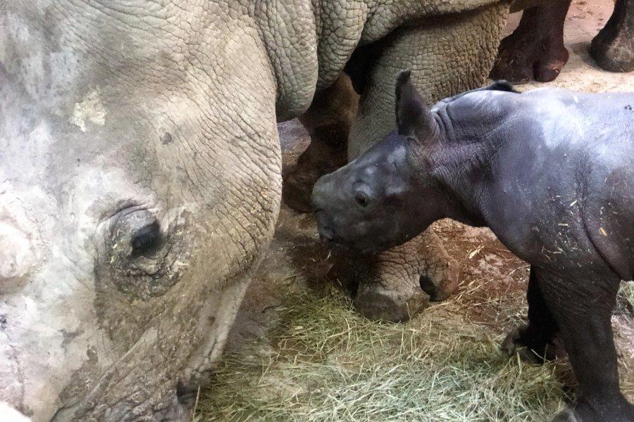 Breitmaulnashorn Kalb 1 Stunde nach der Geburt im Salzburger Zoo
