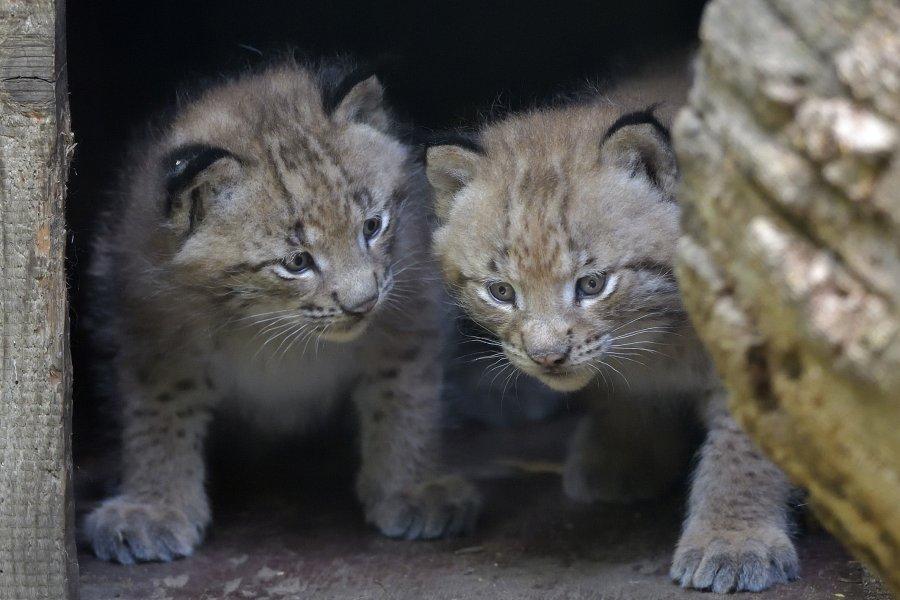Luchs-Zwillinge im Tiergarten Schönbrunn geboren