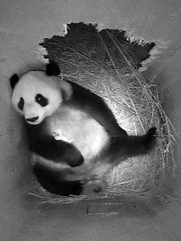 Pandababy im Tiergarten Schönbrunn