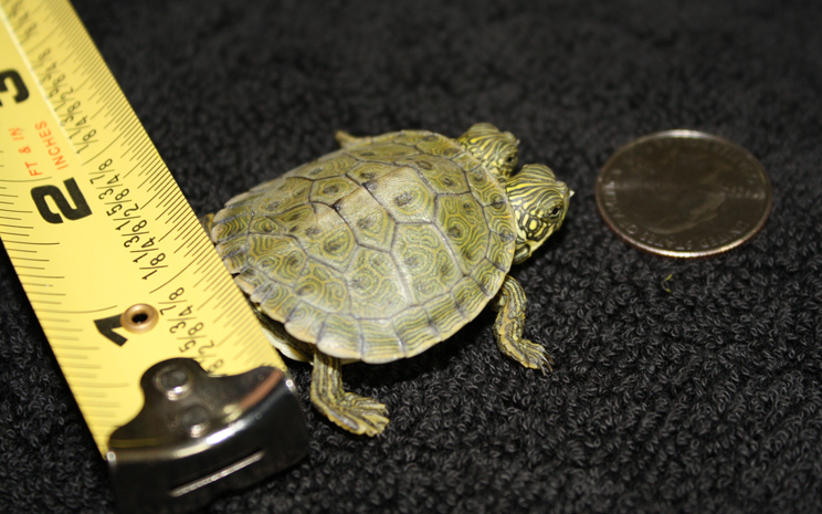 Thelma and Louise - the two-headed turtle